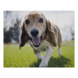 Los E.E.U.U., Colorado, perro curioso que camina h Posters
