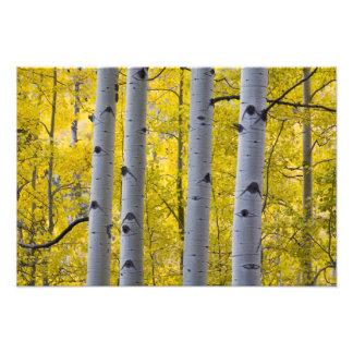 Los E.E.U.U., Colorado, soporte de Aspen del otoño Fotografía