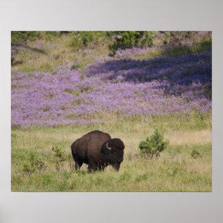Los E.E.U.U., Dakota del Sur, bisonte americano (b Impresiones