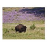 Los E.E.U.U., Dakota del Sur, bisonte americano Postales