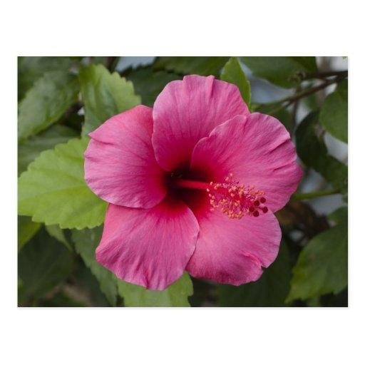 Los E.E.U.U., Hawaii, Oahu. El hibisco es los 2 Postal