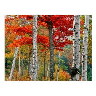 Los E.E.U.U., Maine, lago Wyman. Bosque del abedul Postal