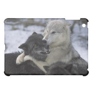 Los E.E.U.U., Montana, lobos que juegan en nieve