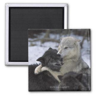 Los E.E.U.U., Montana, lobos que juegan en nieve Imán Cuadrado