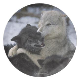 Los E.E.U.U., Montana, lobos que juegan en nieve Plato Para Fiesta