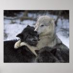 Los E.E.U.U., Montana, lobos que juegan en nieve Póster