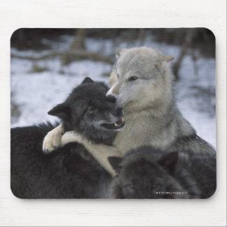 Los E.E.U.U., Montana, lobos que juegan en nieve Alfombrillas De Raton