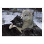 Los E.E.U.U., Montana, lobos que juegan en nieve Tarjeton