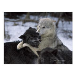 Los E.E.U.U., Montana, lobos que juegan en nieve Tarjeta Postal