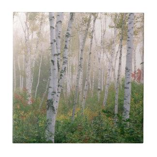 Los E.E.U.U., New Hampshire. Árboles de abedul en Azulejo Cuadrado Pequeño