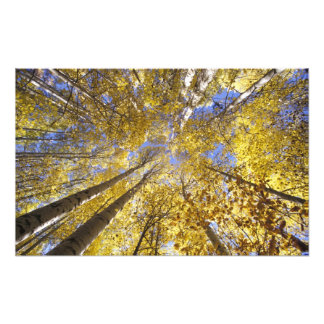 Los E E U U noroeste pacífico Árboles de Aspen Fotos