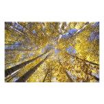 Los E.E.U.U., noroeste pacífico. Árboles de Aspen  Impresión Fotográfica