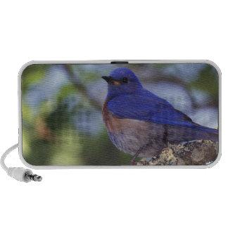 Los E.E.U.U., Oregon. Bluebird occidental masculin Notebook Altavoz