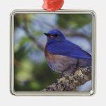 Los E.E.U.U., Oregon. Bluebird occidental masculin Adorno