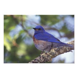Los E.E.U.U., Oregon. Bluebird occidental masculin Fotografías