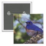Los E.E.U.U., Oregon. Bluebird occidental masculin Pins
