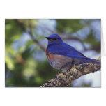 Los E.E.U.U., Oregon. Bluebird occidental masculin Felicitacion