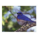 Los E.E.U.U., Oregon. Bluebird occidental masculin Postales