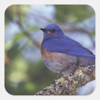 Los E.E.U.U., Oregon. Bluebird occidental Pegatina Cuadrada