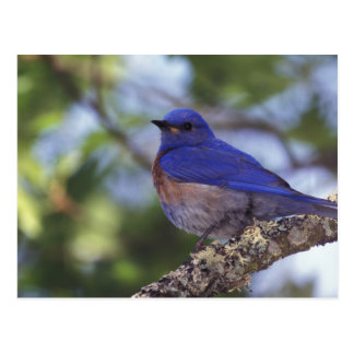 Los E.E.U.U., Oregon. Bluebird occidental Tarjetas Postales