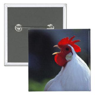 Los E.E.U.U., Oregon, Eugene. Un gallo blanco salu Pin Cuadrado