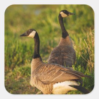 Los E.E.U.U., Oregon, fauna nacional 3 de Baskett Pegatina Cuadrada