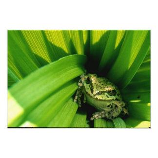 Los E.E.U.U., Oregon, Treefrog en Hellebore falso Fotografías