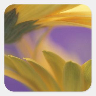 Los E.E.U.U., Pennsylvania. Margaritas amarillas Pegatina Cuadrada