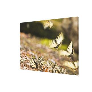 Los E.E.U.U., TN, Tellico. Mariposas de Swallowtai Impresion En Lona