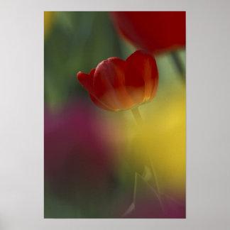 Los E E U U Utah tulipanes del valle del escond Poster