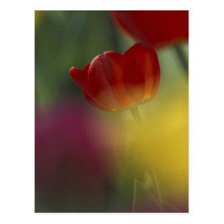 Los E.E.U.U., Utah, tulipanes del valle del escond Postal