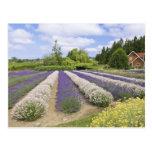 Los E.E.U.U., WA, Sequim, granja púrpura de la lav Tarjeta Postal