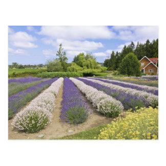 Los E.E.U.U., WA, Sequim, granja púrpura de la Postal