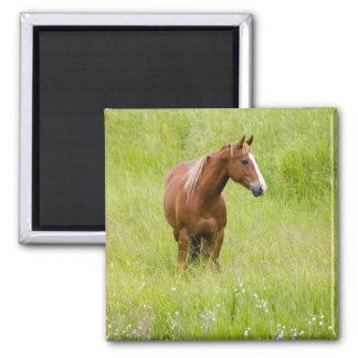 Los E.E.U.U., Washington, caballo en campo de la p Imán Cuadrado