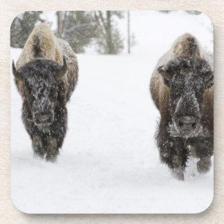 Los E.E.U.U., WY, Yellowstone NP, bisonte american Posavasos De Bebida