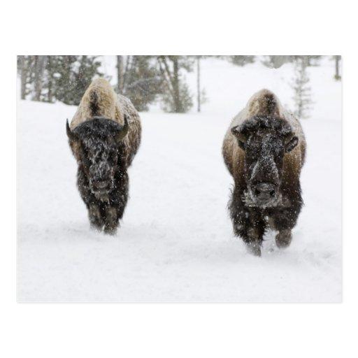 Los E.E.U.U., WY, Yellowstone NP, bisonte american Postal