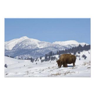 Los E.E.U.U., WY, Yellowstone NP, bisonte del biso Cojinete