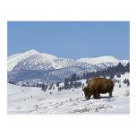 Los E.E.U.U., WY, Yellowstone NP, bisonte del biso Tarjeta Postal