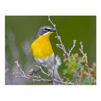 Los E.E.U.U., Wyoming, Icteria Amarillo-breasted 2 Postales