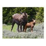 Los E.E.U.U., Wyoming, montañas del Bighorn, Alces Postal