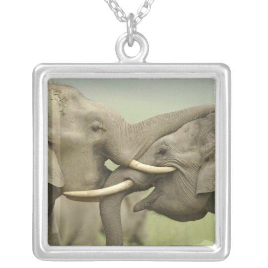 Los elefantes indios/asiáticos juegan luchar, collar plateado