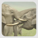 Los elefantes indios/asiáticos juegan luchar, Corb Calcomanía Cuadrada
