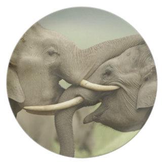 Los elefantes indios/asiáticos juegan luchar, Corb Platos De Comidas