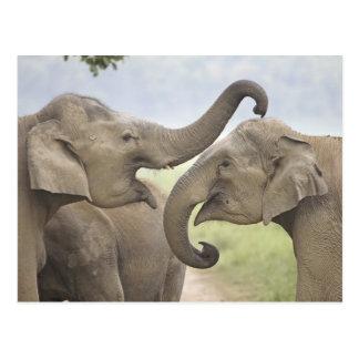 Los elefantes indios/asiáticos juegan luchar, postal