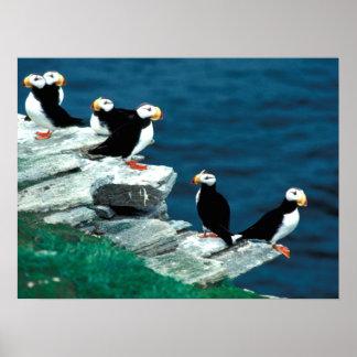 Los frailecillos de Alaska emplumaron pájaros colo Póster