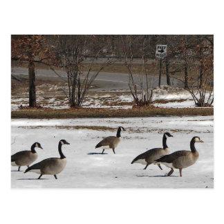 Los gansos de Canadá guardan a la derecha Postal