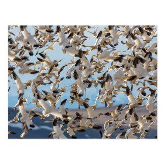 Los gansos de nieve llenan el cielo después de tarjetas postales
