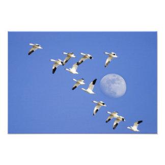 Los gansos de nieve toman vuelo en el lago NWR Fre Cojinete