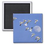 Los gansos de nieve toman vuelo en el lago NWR Fre Imán Cuadrado
