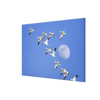 Los gansos de nieve toman vuelo en el lago NWR Fre Impresión En Lona Estirada